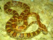 Corn snake coiled in vivarium