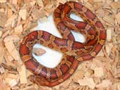 Carolina Corn snake coiled in substrate