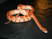 Corn snake cornelius outside the vivarium