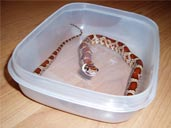 Corn snake in feeding tub