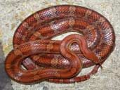 Adult Corn Snake Coiled